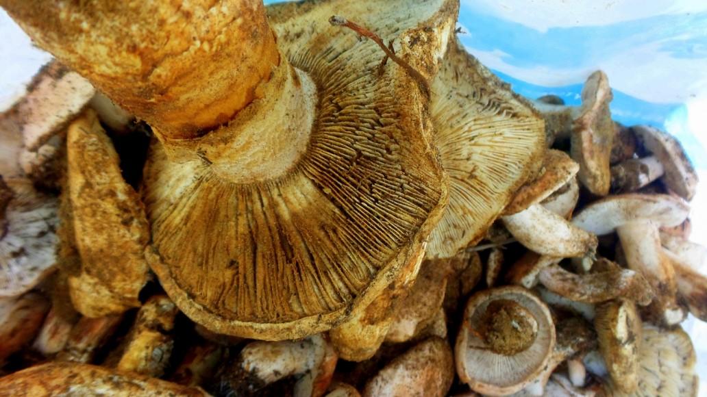 champignon 5