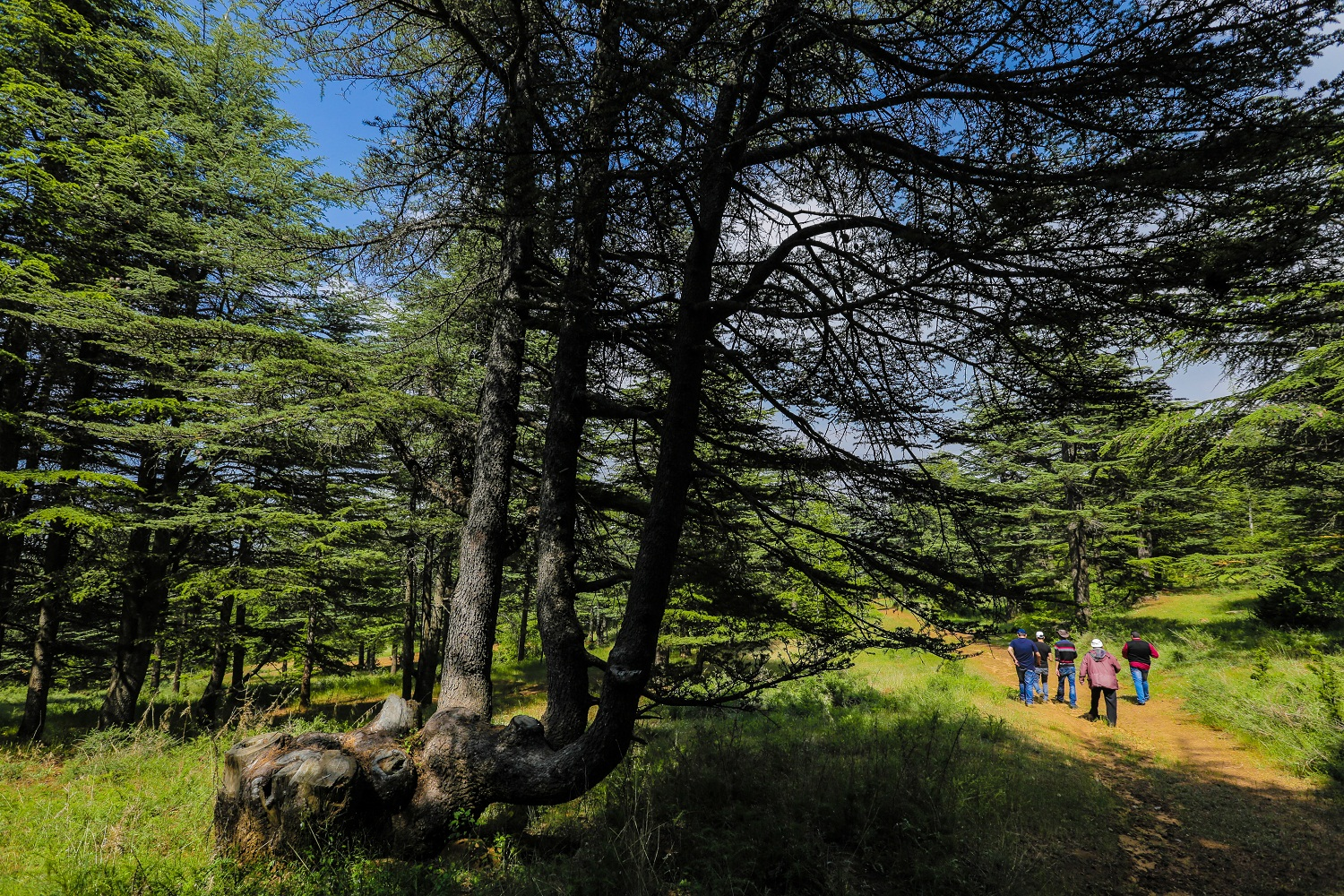 cedars dating Chinese warring states arrowhead dating to about 400–200 bc dawn ueda nikko's towering cedars in be investigated using radiocarbon dating.